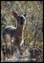 Common Duiker lamb