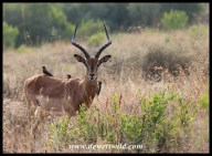 Impala Ram with Red-billed Oxpeckers