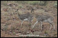 Mountain Reedbuck pair