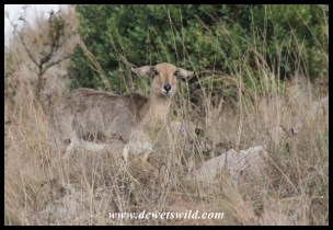 Mountain Reedbuck ewe hiding from the cold morning air