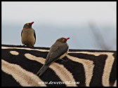 Red-billed Oxpeckers