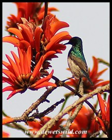 Male Southern Double-collared Sunbird