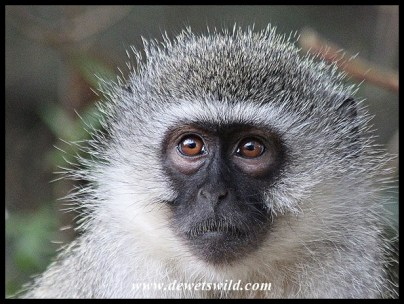 Thoughtful Vervet Monkey