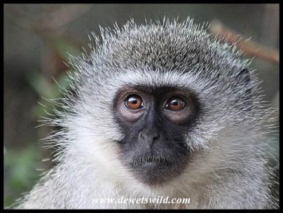 Thoughtful Vervet Monkey