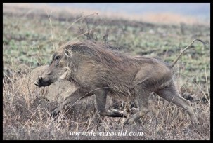 Warthog on the run!