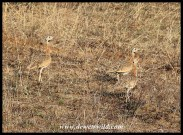 White-bellied Bustards