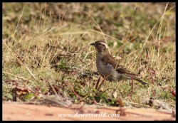 Yellow-throated Bush Sparrow