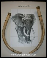 Letaba Elephant Hall - tusks of Ndlulamithi