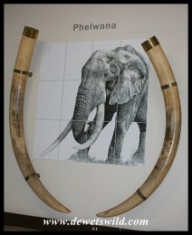 Letaba Elephant Hall - tusks of Phelwana