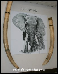 Letaba Elephant Hall - tusks of Shingwedzi