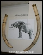 Letaba Elephant Hall - tusks of Nhlangulene