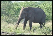 Ngonyama (2009/02/15)