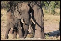 Tembe's Mr. Half Ear (May 2013)