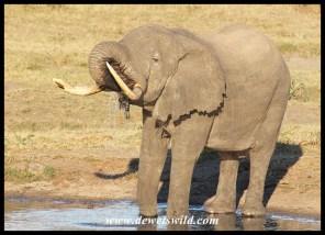 Tembe Tusker (May 2013)