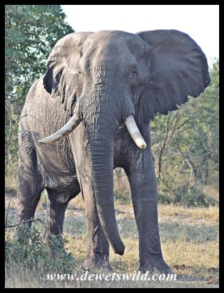 Tembe's Zero died in May 2014 (seen May 2013)