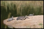 Marsh and Serrated Terrapins