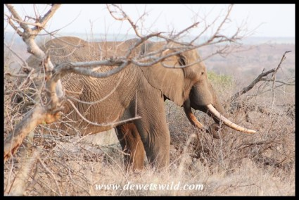 Unknown Kruger Tusker (21/09/2019)