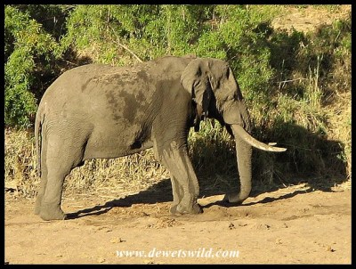 Unknown Kruger Tusker (2008/10/13)