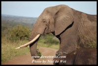 Unknown Kruger Tusker (2012/02/09)