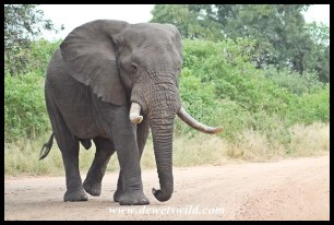 Unknown Kruger Tusker (2014/04/26)