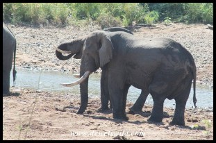 Unknown Kruger Tusker (2014/04/27)