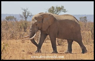 Unknown Kruger Tusker (2014/09/24)