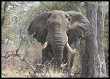 Unknown Kruger Tusker (2014/09/25)