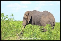 Unknown Kruger Tusker (2015/12/20)