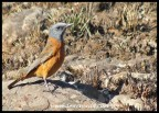 Cape Rock Thrush (male)