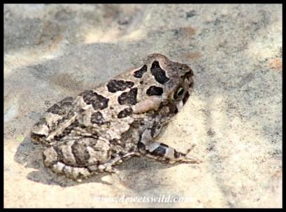 Juvenile Raucous Toad