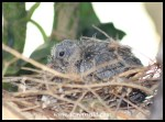 Nine day old Laughing Dove chick