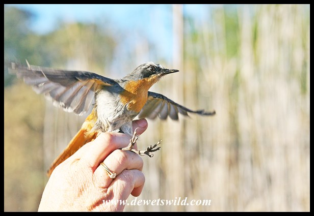 Cape Robin-Chat caught during a bird-ringing exercise