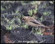 Long-tailed Widowbird (female)