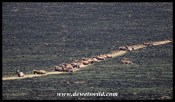 Blesbok lying on their path