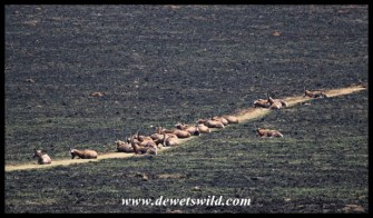 Blesbok lying on their path