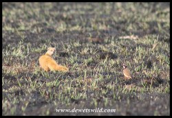 Yellow Mongoose being chased by a Capped Wheatear