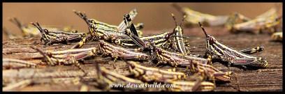 Green Milkweed Locust nymphs