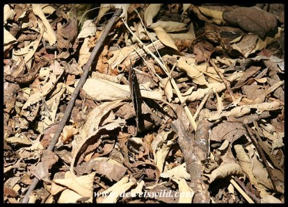 Garden Commodore (dry season colouration) well camouflaged among dead leaves.