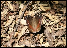 Garden Commodore (dry season colouration)
