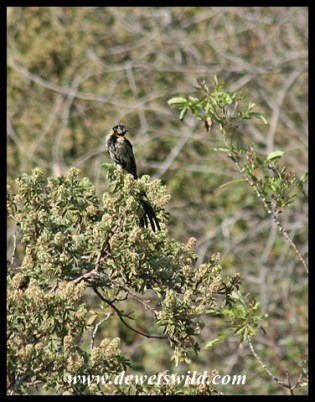 Red-collared Widowbird in transitional plumage