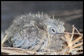 Ten day old Laughing Dove chick