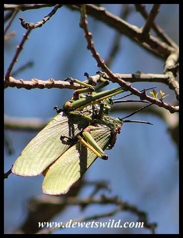 Green Milkweed Locusts
