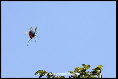 Green Milkweed Locust in flight