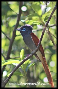 African Paradise Flycatcher (male)
