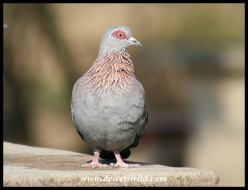 Speckled Pigeon (photo by Joubert)
