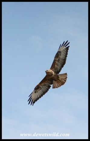 Steppe Buzzard in flight (Joubert's photo)
