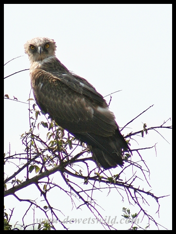 Immature Black-chested Snake Eagle