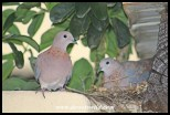 The pair of Laughing Doves at the nest