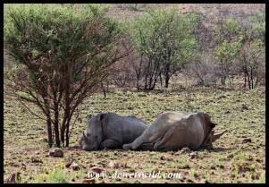 White Rhinos hiding from the sun