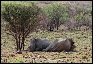 White Rhinos hiding from the sun